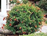 Dwarf Flowering Pomegranate, One Gallon Container by Monrovia Growers