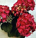 Amazon / Hirt's Gardens: Cityline Paris Hydrangea macrophylla - Intense Red - Proven Winners - 4 Pot