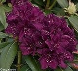 Rhododendron, 2 Liter blau/violett, 1 Pflanze