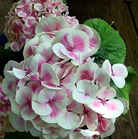 Flowering Plants - Pink Hydrangea