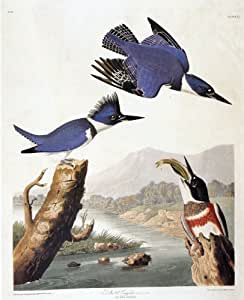 Audubon Belted Kingfisher Bird Art Print - 7 in x 10 in Unmatted