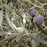 Arbequina Olive Tree Live Plant Cold Hardy 1-2 Feet Tall NO SHIPPING TO CA, AZ, AK, HI, OR or WA PER YOUR STATE LAWS