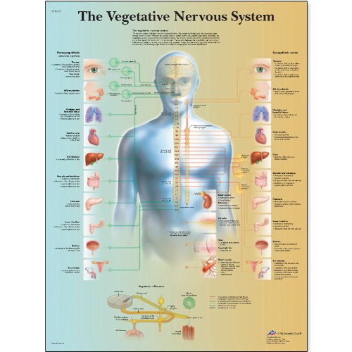 3B Scientific VR1610L Glossy Laminated Paper The Vegetative Nervous System Anatomical Chart, Poster Size 20