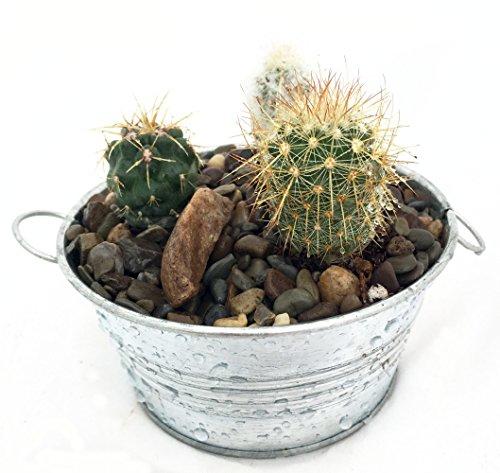 Hirts Gardens Cactus Garden in Galvanized Tin Container