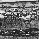 Flamingo Kellarissa