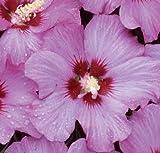 Rose Satin® Rose of Sharon - Hibiscus - Flowering Shrub - Proven Winners