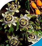 Blue Passion Flower 35 Seeds -Passiflora caerulea