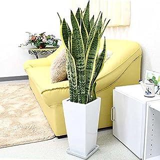 サンセベリアはおすすめの観葉植物