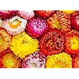 Flower Seed - STRAW FLOWER MIX - Helichrysum Bracteatum - Pack Of 200 Seeds By Seedscare India