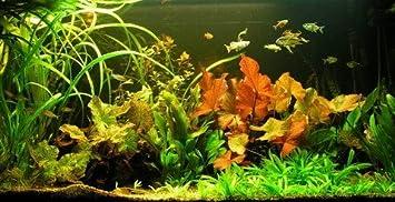 Hot Hot Hot Sale Wasserflora Unterwasser Landschaft Lotuswelt Fa R Ein 60 Liter Aquarium Check Price Mulagrhdya