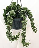 "Hindu Indian Rope Plant - Hoya - 6"" Hanging Basket"