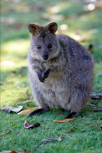 Australian Quokka Journal: 150 page lined notebook/diary