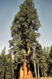 "Seeds and Things Giant Sequoia sempervirens ""California Redwood"" 15 Seeds - BONSAI -"