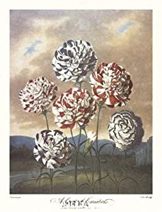 Robert John Thornton MD. - A Group of Carnations Fine Art Print (27.94 x 38.10 cm)