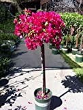 Bougainvillea Barbara Karst -- 12 by 12 Inch Container Topiary Patio Tree by Monrovia Growers