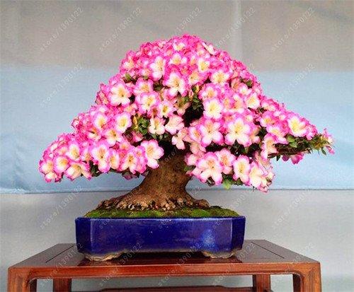 10-pc-bag-rare-18-sorten-sakura-samen-japanische-kirsche-bluht-bonsai-blumensamen-sakura-baum-diy-ha