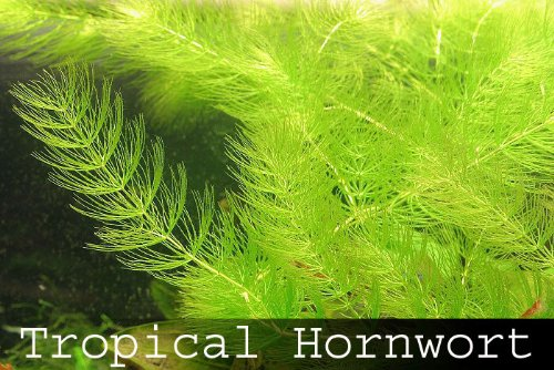 fastest-growing-aquarium-plant-hornwort-6x-live-aquarium-floating-plants