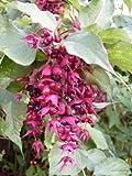 RP Seeds Leycesteria Formosa Himalayan Honeysuckle Seeds