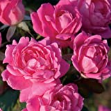 Knockout Double Pink Rose