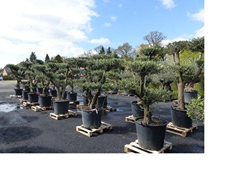 garten olivenbaum preisvergleiche erfahrungsberichte. Black Bedroom Furniture Sets. Home Design Ideas