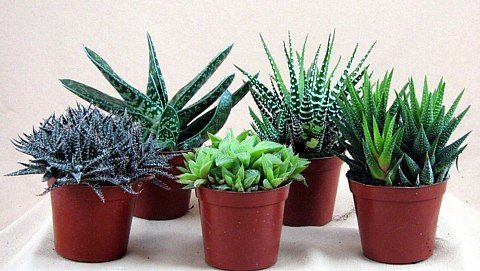 haworthia-collection-5-plants-easy-to-grow-hard-to-kill-3-pot-from-jmbamboo