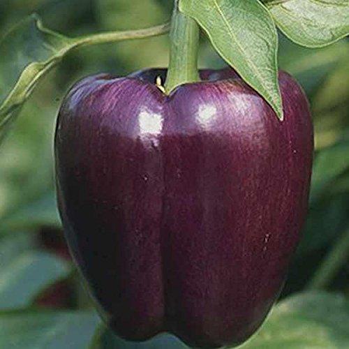 semi-premier-diretto-org-219-peperone-dolce-viola-seeds-bellezza-organica-confezione-da-50