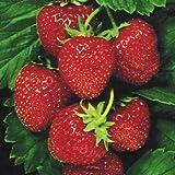 200pcs Japanese Hokowase Strawberry (Fragaria Hokowase) Seeds Indoor Outdoor Plant