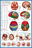 (24×36) The Brain Educational Chart Poster