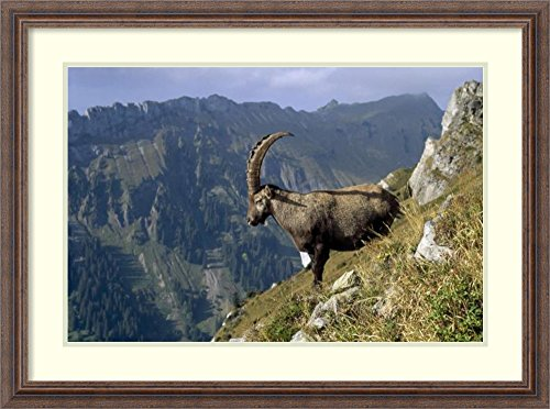 Framed Art Print 'Alpine Ibex male with Swiss Alps in background, Europe' by Konrad Wothe