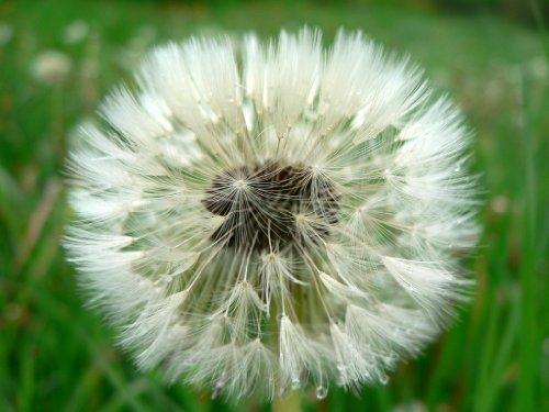 photo-image-keyring-key-ring-seeding-dandelion-1