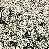 Alyssum Carpet of Snow seeds