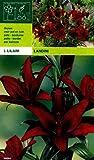 Lilium asiatic - Schwarze Asiatische Lilie Landini