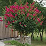 TONTO Dwarf Crape Myrtle, 1 Plant, Striking Dark Watermelon Red, Matures 8'-10' (3-4ft Tall When Shipped, Well Rooted in Pots with Soil) (Color: Watermelon Red)