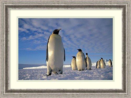 framed-art-print-emperor-penguin-group-kloa-point-edward-viii-gulf-antarctica-by-tui-de-roy