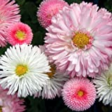 Flora Fields Daisy - Double Mix