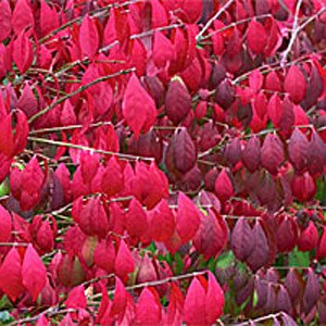 Burning Bush Shrub Seeds (Euonymus Alata)- Brilliant Red Colour