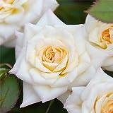 ミニバラ:ミルキーウェイ大苗6号鉢植え[花色が変化する人気の四季咲き品種]