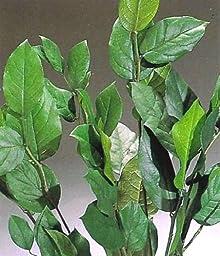 Green Floral Crafts Preserved Green Salal Leaves
