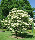 Grow Your Secret Garden Fragrant Japanese Lilac Tree- 10 Viable Seeds
