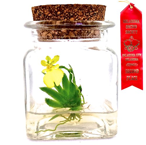 Award-Winning-Maintenance-Free-Orchid-Terrarium-Psygmorchis-Pusilla-Miniature-No-Green-Thumb-Necessary-Great-for-Work-Home-Unique-Gift-Restock-Everyday