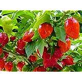 """Eines der sch�rfsten Chilis - Habanero Caribbean red - 20 Samenvon """"exotic-samen"""""""