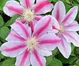 Clematis Bees Jubilee pink flowers with deeper bar in late spring and late summer