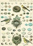 "Cavallini Decorative Paper - Bird, Eggs & Nest 20""x28"" Sheet"