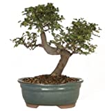 Lawn &amp; Patio - Brussel's CT9005CE Chinese Elm Bonsai