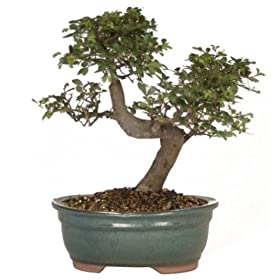Brussel's Chinese Elm Outdoor Bonsai Tree