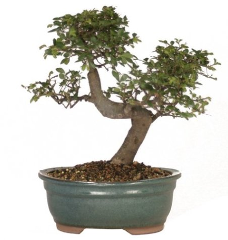 Brussel'S Ct9005Ce Chinese Elm Bonsai front-921535