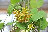 イエライシャン 夜来香 Telosma cordata 熱帯植物 (3号ポット苗)