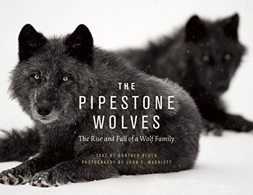 the-pipestones-the-rise-and-fall-of-a-wolf-family