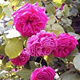 バラ苗 マダムイサークペレール 国産大苗6号スリット鉢 つるバラ 返り咲き ピンク系 オールドローズ(ブルボンローズ)