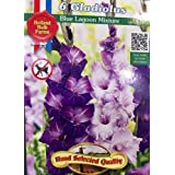 1 Package 6 Gladiolas Bulbs Hand Selected Quality Size 8/10 Blue Lagoon Mixture